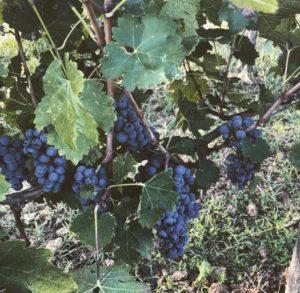 uva-rossa-cilento-wine